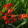 ヒオウギスイセンの花