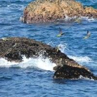 『アオバト』 岩礁を飛ぶ(2)