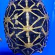インドホシガメ甲長約9cm13cm