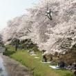 残堀川の桜  (buna)
