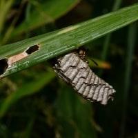 越冬中:オキナワチビアシナガバチ