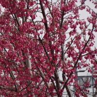 カンヒザクラ咲いていました。