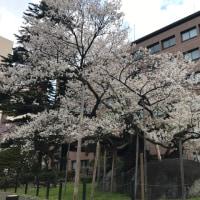 夜桜・・・