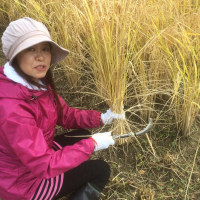 天栄米の稲刈り