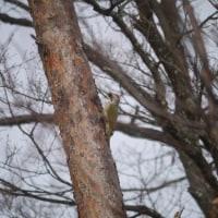 緑啄木鳥(アオゲラ)
