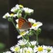ベニシジミは小さな蝶です