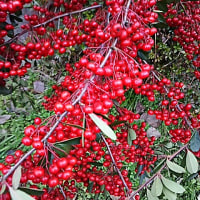 赤い実がびっしり