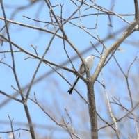円山で野鳥撮影