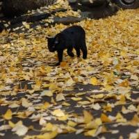 銀杏の落葉の上を歩く