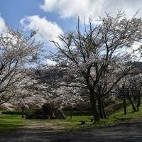 茅部神社の桜並木