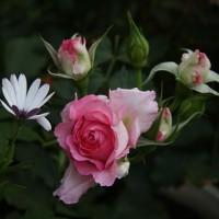 薔薇です。
