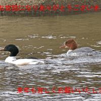 カワアイサ(福岡県みやこ町)