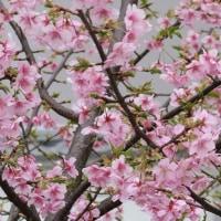 桜の花に鳥が(2017・2)