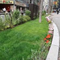 ●4/18 環境の緑化と美化報告 ルミネ前芝生がきれいになっています。