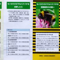 熊ん蜂 マルハナバチにも外来種がいるとは知らなかった…