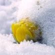 初めての更新 - 福寿草の写真追加と次回の花予定