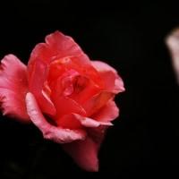 薔薇 (花 4463)