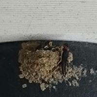 巣立ち間近なツバメ達