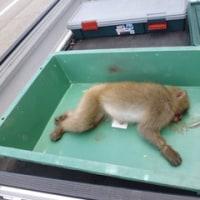 5月27日有害鳥獣捕獲「猿」