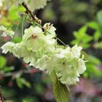 御衣黄(ギョイコウ)と云う桜