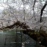 桜に 引き付けられる・・・・井の頭公園