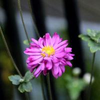 マユハケオモト(眉刷毛万年青) シュウメイギク(八重咲き)