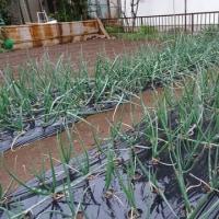 恵みの雨、畑と苗の様子