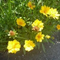 五月の黄色い花