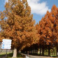 素晴らしい紅葉のメタセコイヤ並木