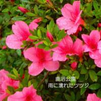 スイレンの花 (鹿沼公園)