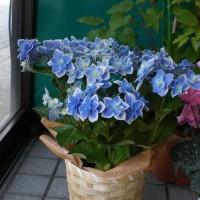 子供達から、女将へ・・・母の日のアジサイの鉢植えが届きました。