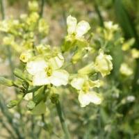 黄金色の椎の木とキャベツの花