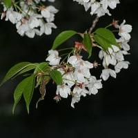 桜の季節なれど・・・