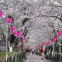 近くの桜の名所 幸手権現堂桜堤の今