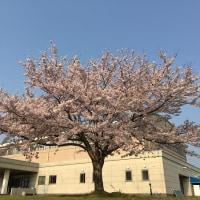 鈴鹿国際大学の桜 その1
