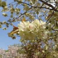 里桜が見頃です。