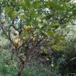 檸檬の木に檸檬の実のなる