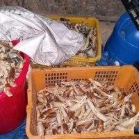 沿海地方ザルビノの密漁カニ処理場が摘発される