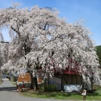 桜の探訪 (長野県高山村)