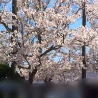 桜の木をみて