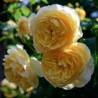 思い出のバラ、グラハム・トーマス5月23日朝8時の北公園にて・・