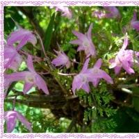 セッコクの花が咲く