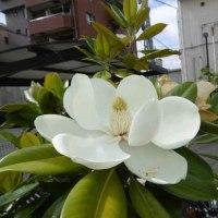タイサンボクの花、、、いい匂い
