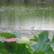 蓮の花の向こう~今朝の鳥たち~