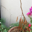 ハイビスカスとギリ越冬のパキラ