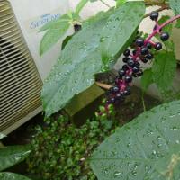 外来毒性植物ってなんですか?