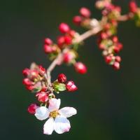 庭のお花達 チオノドクサ・ピンク他