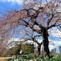 早咲き桜は終わっても新宿御苑の魅力