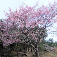 """千葉県で一番早いお花見?、 """"しらこ桜祭り"""" に行きました。"""