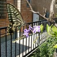 ★梅雨の蝶♪